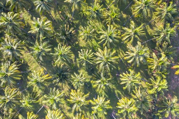 Kokosnussplantagengrünfeld-landwirtschaftsindustrie, die in thailand bewirtschaftet