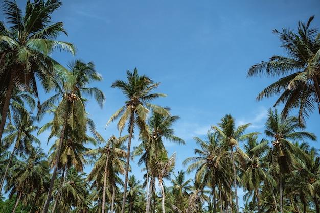 Kokospalmen auf dem blauen himmel