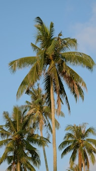 Kokospalmen im blauen himmel