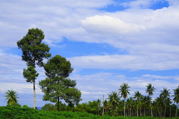Kokospalmen im feld und weiße wolke des blauen himmels im sommer