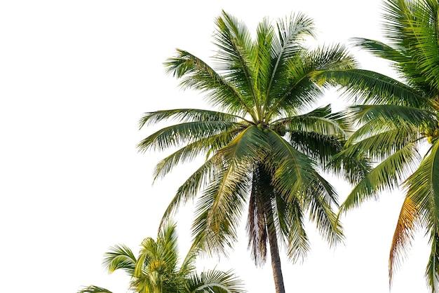 Kokospalmenblatt lokalisiert auf weiß mit beschneidungspfad für objekt- und retuschierentwurf.