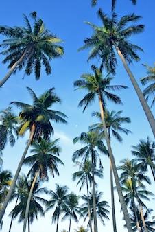 Kokusnuss-palme