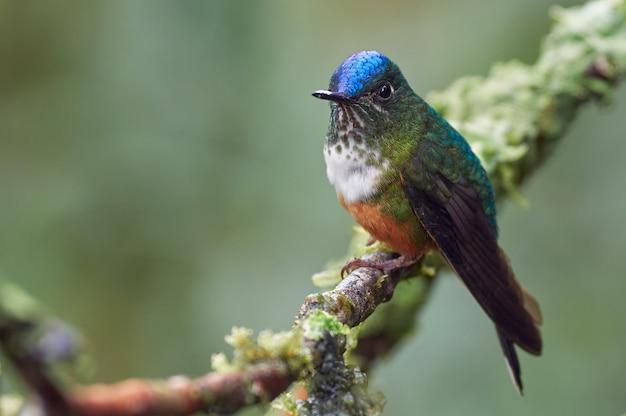 Kolibri, der auf einem zweig mit moos ruht