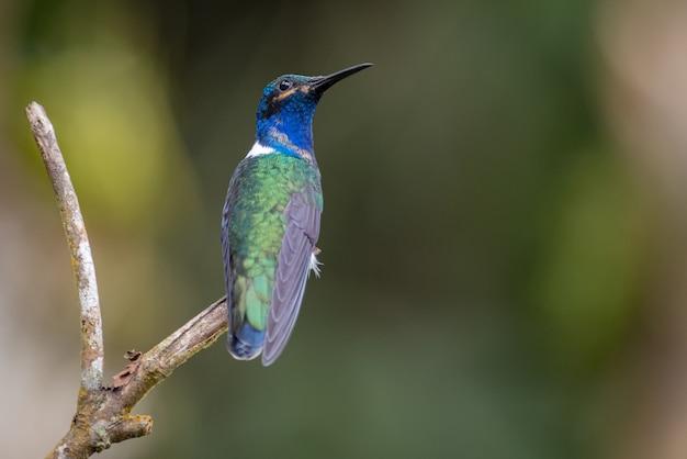 Kolibri, der auf einen kleinen zweig zurückblickt