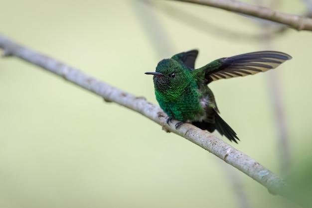 Kolibri macht muskeldehnung von einem kleinen diagonalen ast