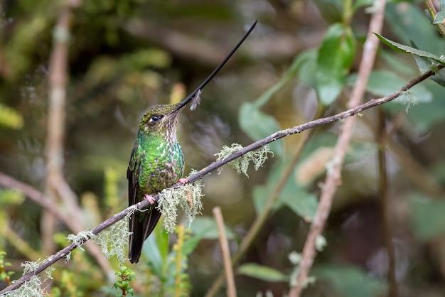 Kolibri mit sehr langer rechnung auf einem moosgefüllten ast