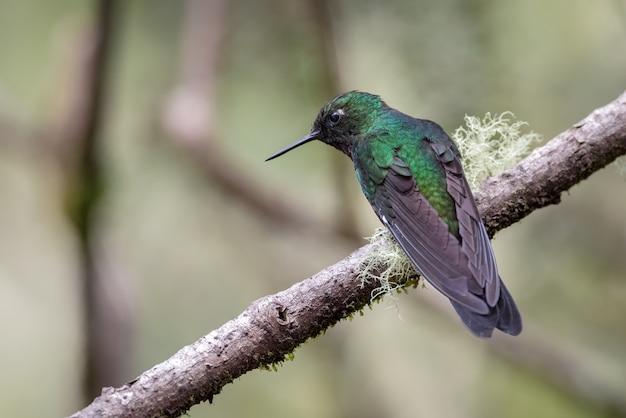 Kolibri starrt von einem ast herab