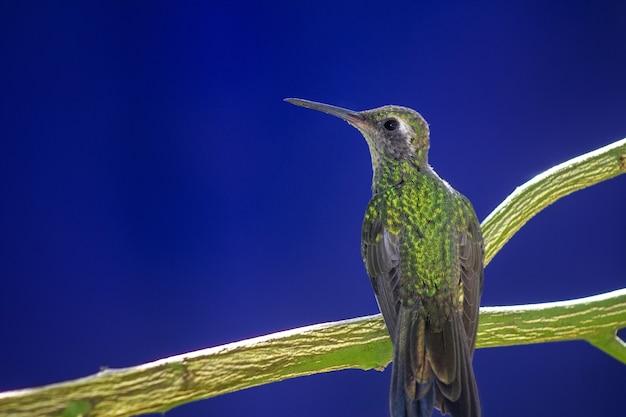Kolibri thront auf einem ast auf blau