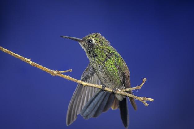 Kolibri thront auf einem ast auf blauem hintergrund