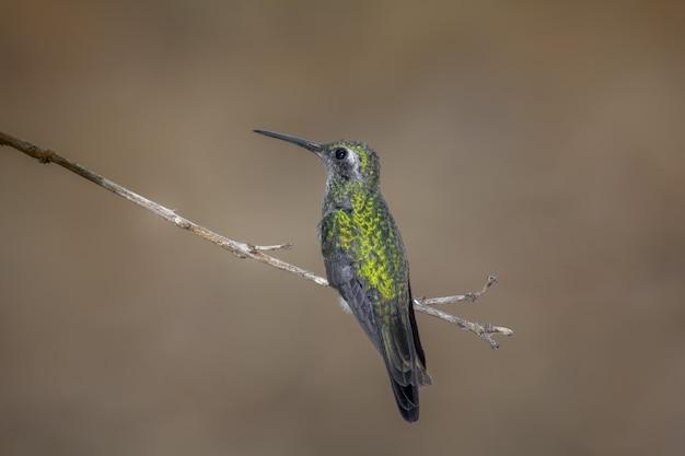 Kolibri thront auf einem ast