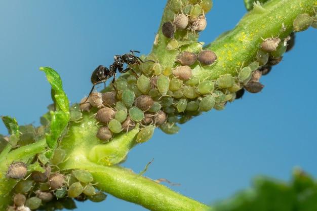 Kolonie von blattläusen und ameisen auf gartenpflanzen.