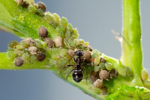 Kolonie von blattläusen und ameisen auf gartenpflanzen
