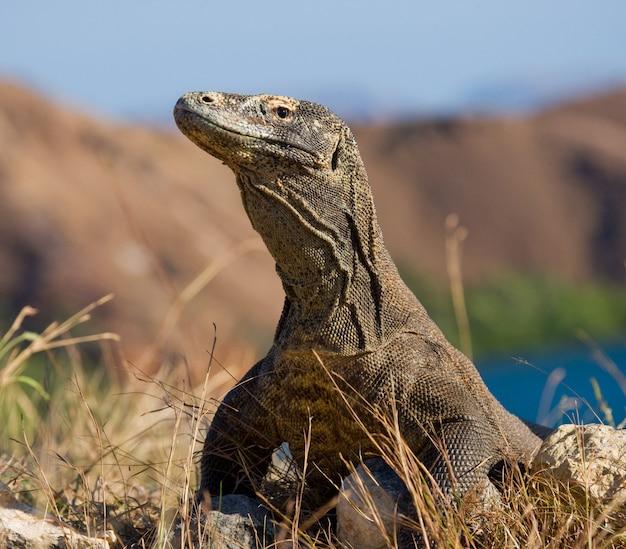 Komodo drache sitzt auf dem boden vor dem hintergrund der atemberaubenden landschaft. interessante perspektive. das tiefpunktschießen. indonesien. komodo nationalpark.