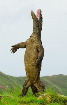 Komodo drache steht aufrecht auf ihren hinterbeinen.