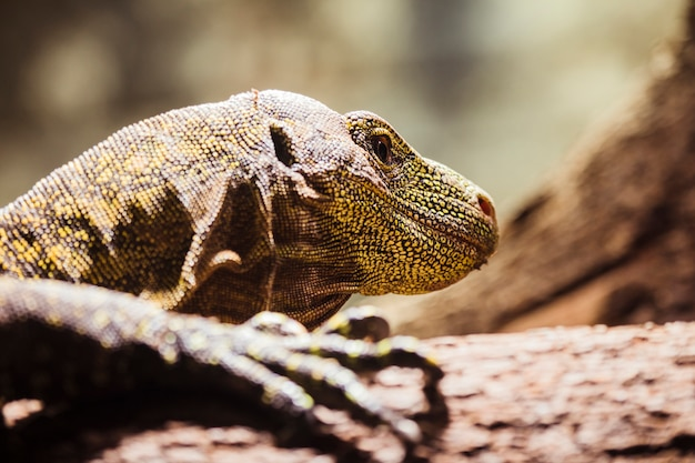 Komodo drache