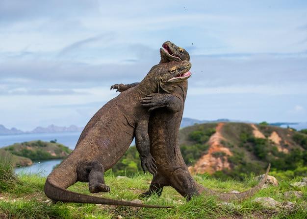 Komodo-drachen kämpfen gegeneinander