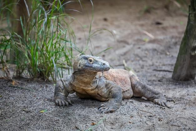 Komodo dragon auf dem boden