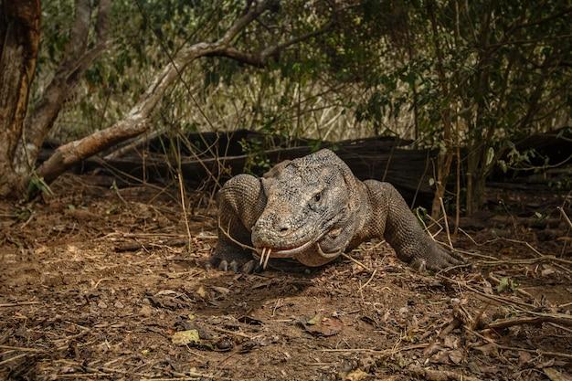 Komodowaran im schönen naturlebensraum auf der berühmten insel in indonesien
