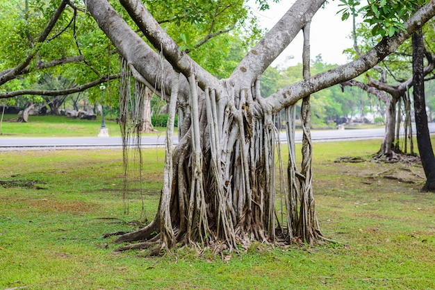 Komplexe wurzel des banyanbaums