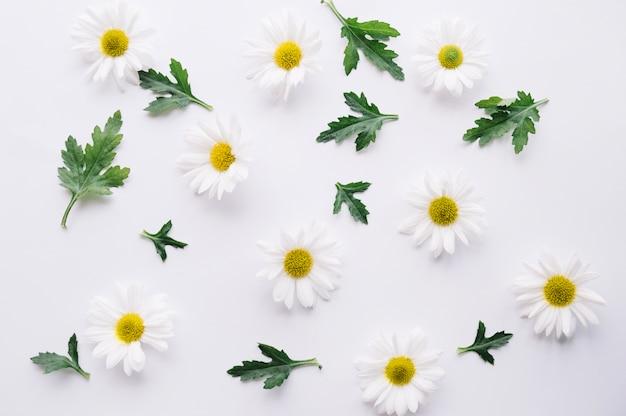 Komponierte gänseblümchen mit grünen blättern auf weiß