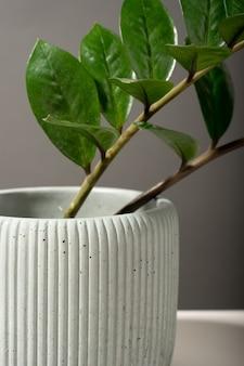 Komposition mit gerippten blumentopf aus beton mit zamioculcas. grauer hintergrund. minimalismus. natürliches material. konzept hausgartengrün. anlage