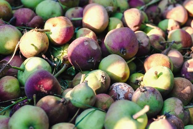 Kompostierung von faulen äpfeln im bio-haushalt, nahaufnahme
