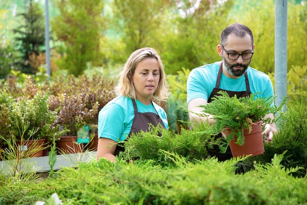 Konzentrierte gärtner arrangieren nadelpflanzen im garten. mann und frau tragen schürzen und wachsen kleine thuja im gewächshaus. selektiver fokus. kommerzielle gartenarbeit und sommerkonzept