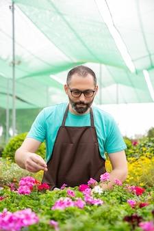 Konzentrierter männlicher gärtner, der blühende blumen in töpfen prüft