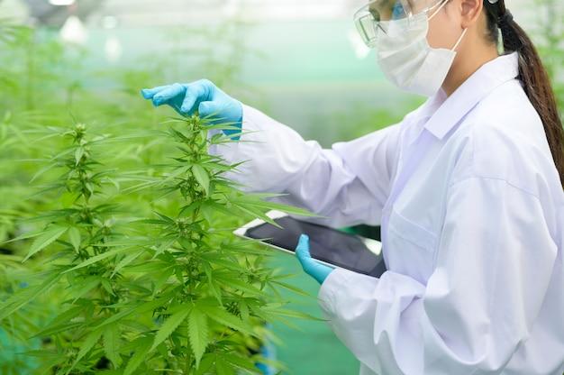 Konzept der cannabisplantage für die medizin, ein wissenschaftler, der tabletten verwendet, um daten über die indoor-farm von cannabis sativa zu sammeln