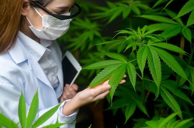 Konzept der cannabisplantage für mediziner, ein wissenschaftler, der ein tablet verwendet, um daten über cannabis-indoor-farmen zu sammeln