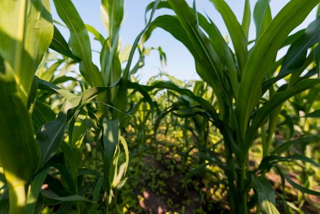 Konzept des ökologischen landbaus auf dem maisfeld