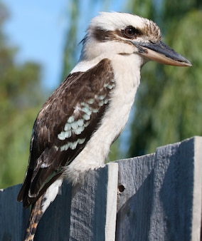 Kookaburra vogel im freien