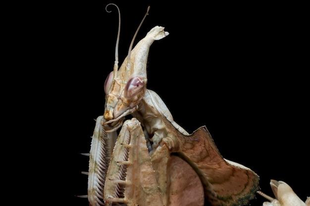 Kopf der devils flower mantis auf schwarz
