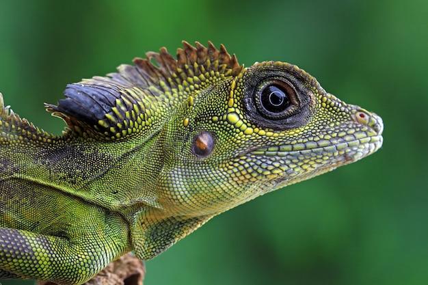 Kopf der gonocephalus grandis eidechse, kopf der eidechse