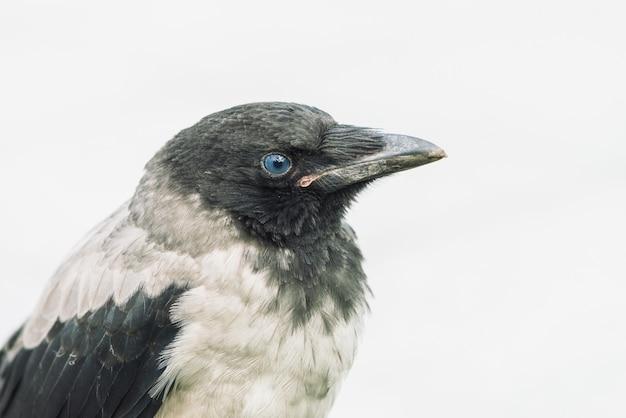 Kopf der jungen krähe auf grau