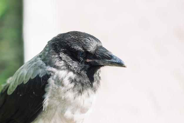 Kopf der jungen krähe auf grauem und grünem hintergrund
