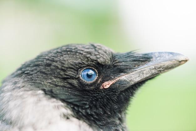 Kopf der jungen krähe auf grünem hintergrund