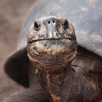 Kopf der riesigen galapagos-schildkröte