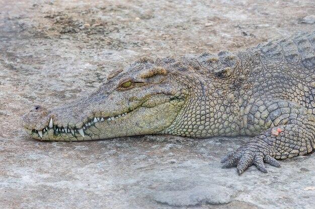 Kopf des krokodils, alligator