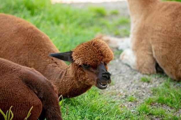 Kopf des yoyng braunen alpakas, das auf dem gras in der farm liegt