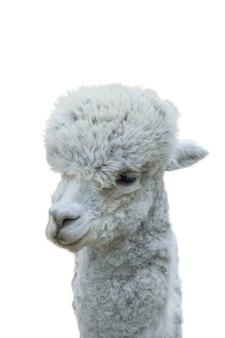 Kopf eines schönen grauen alpakas isoliert auf weißem hintergrund. porträt eines gezähmten haustieres mit schönem haar.
