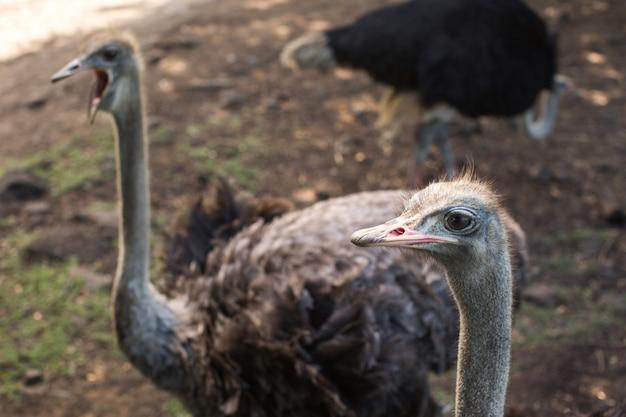 Kopf- und halsfrontporträt des straußenvogels im park. neugieriger afrikanischer strauß, der an der straußenfarm geht.