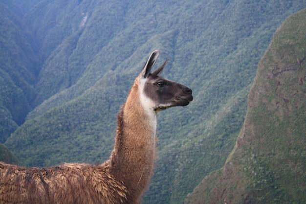 Kopf- und körperteil des lamas, hinter dem berge sind