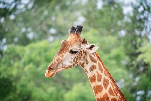 Kopfporträt einer südafrikanischen giraffe mit langem hals, die mit großen augen in der afrikanischen savanne schaut