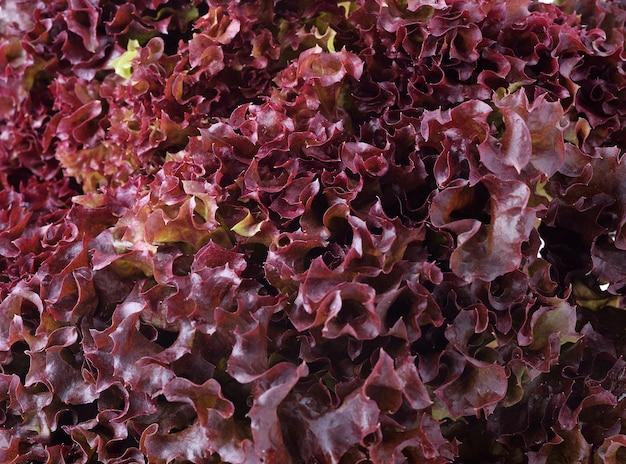 Kopfsalat aus roter eiche. hydrokultur-gemüse