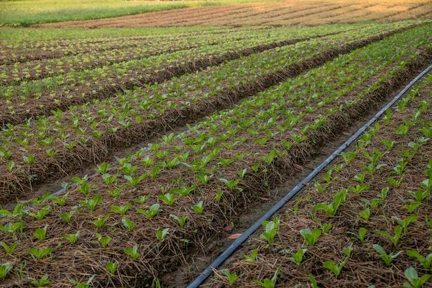 Kopfsalat, der im boden im gemüsegarten bei wang nam khiao, nakhon ratchasima, thailand wächst