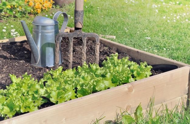 Kopfsalat, der in einem kleinen gemüsegarten erfolgt mit planke wächst
