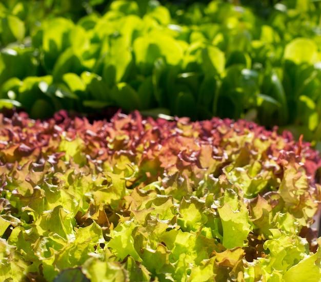 Kopfsalat gemüse sprießt texturen