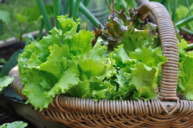 Kopfsalat im weidenkorb
