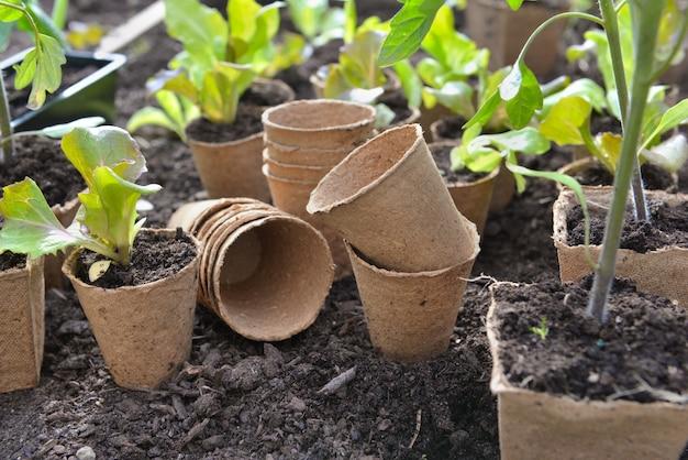 Kopfsalatsämling, der in einem torftopf wächst und bereit ist, im garten gepflanzt zu werden